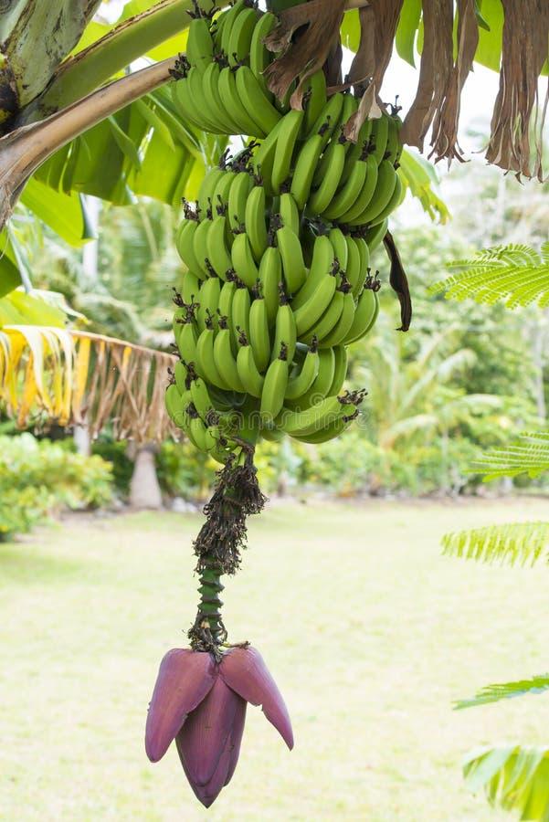 Planta de plátano con la floración y las frutas foto de archivo libre de regalías
