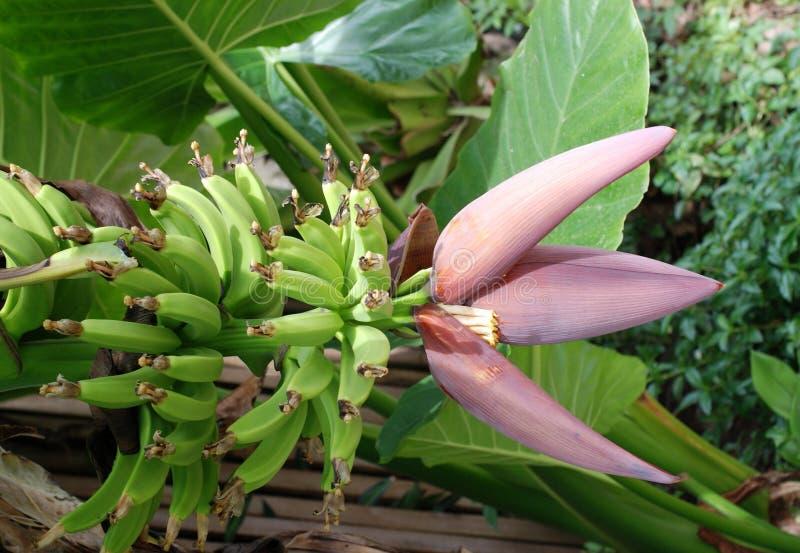 Planta de plátano floreciente imagen de archivo