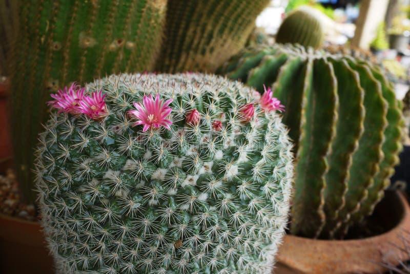 Planta de potenciômetro bonita do cacto com florescência da flor imagens de stock