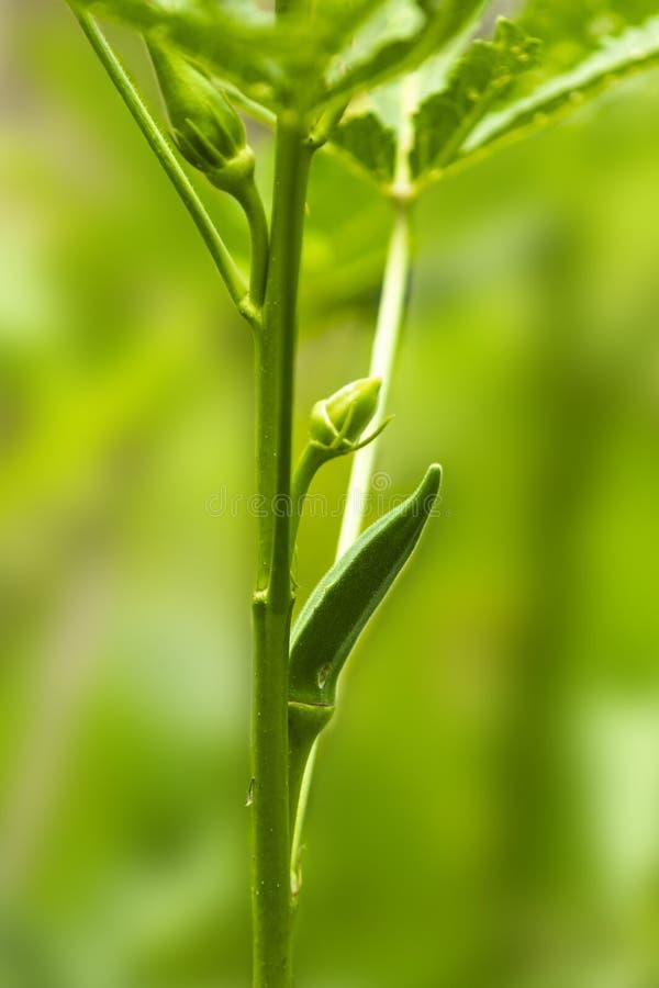Planta de quiabo com quiabo maduro, dedos das senhoras em uma exploração agrícola Nepal 2 fotos de stock