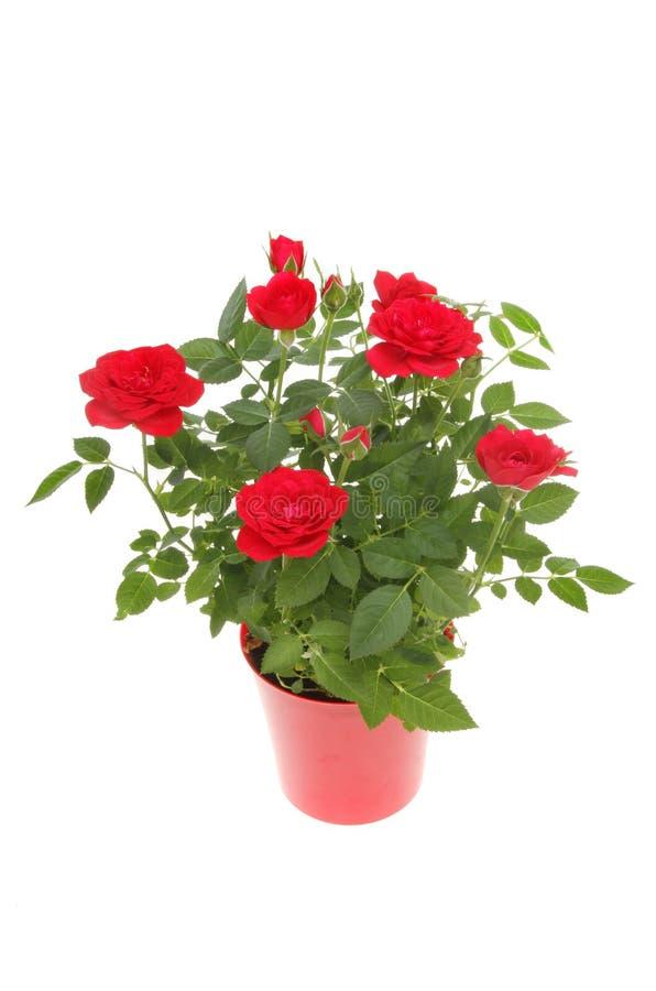 Planta de Rosa imagens de stock