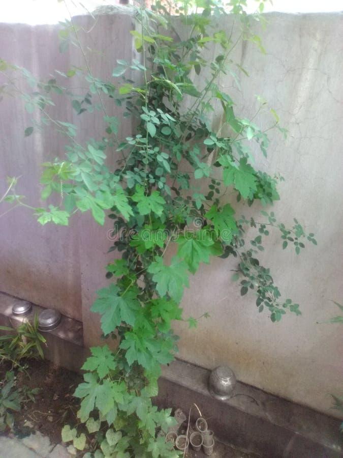 Planta de Rosa fotografia de stock