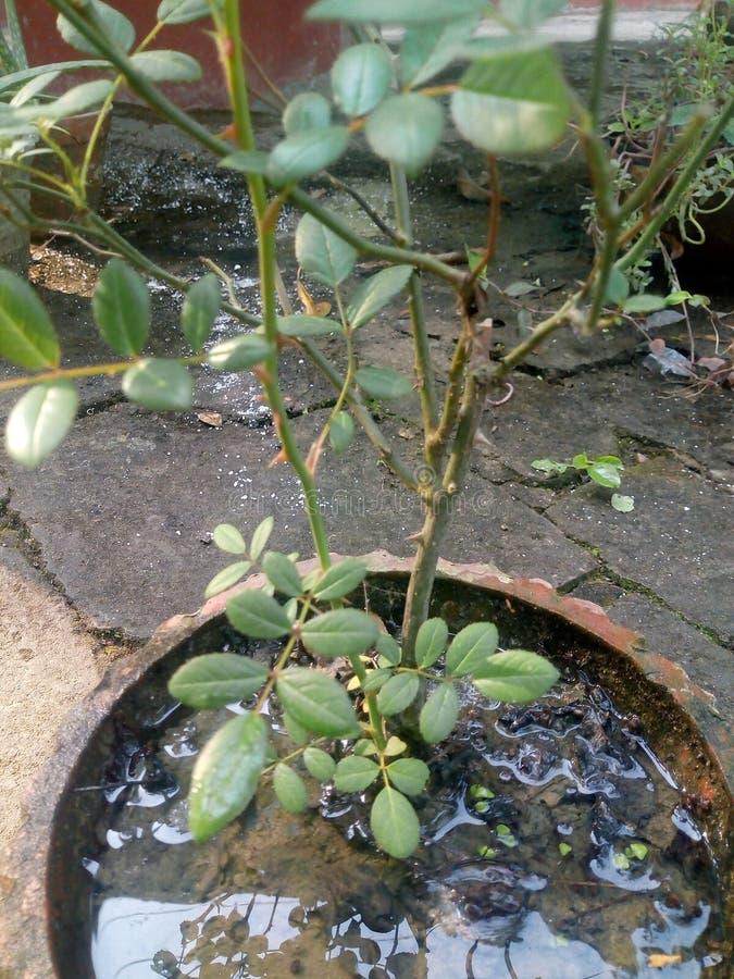 Planta de Rose fotografía de archivo