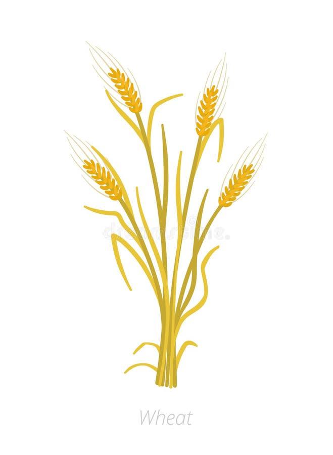 Planta de Rye, de cevada ou de trigo madura Ilustra??o do vetor Cereale do Secale Planta cultivada agricultura folhas do verde co ilustração do vetor