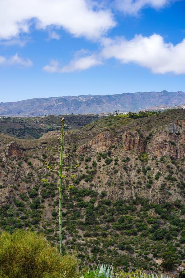 Planta de século de florescência, Agavoideae, na borda da cratera de Bandama, Gran Canaria imagem de stock royalty free
