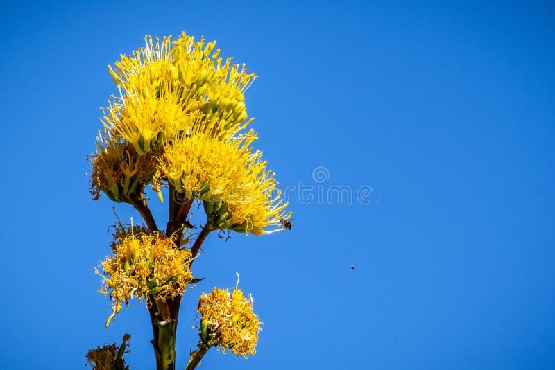 Planta de século de florescência, Maguey, ou agave americana americana do aloés; fundo do céu azul, Califórnia imagens de stock