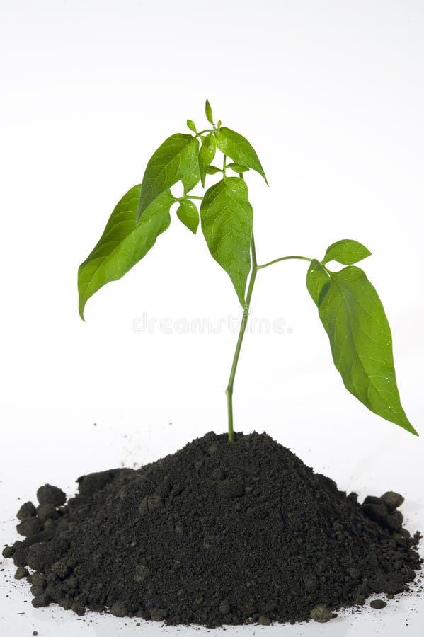 Planta de semillero aislada en blanco imágenes de archivo libres de regalías