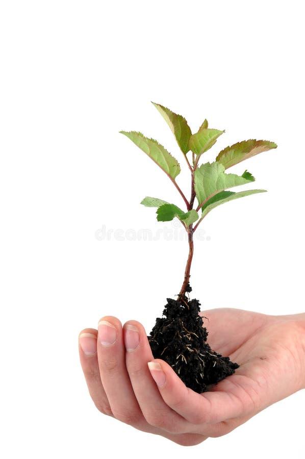 Planta de semillero blanda fotos de archivo