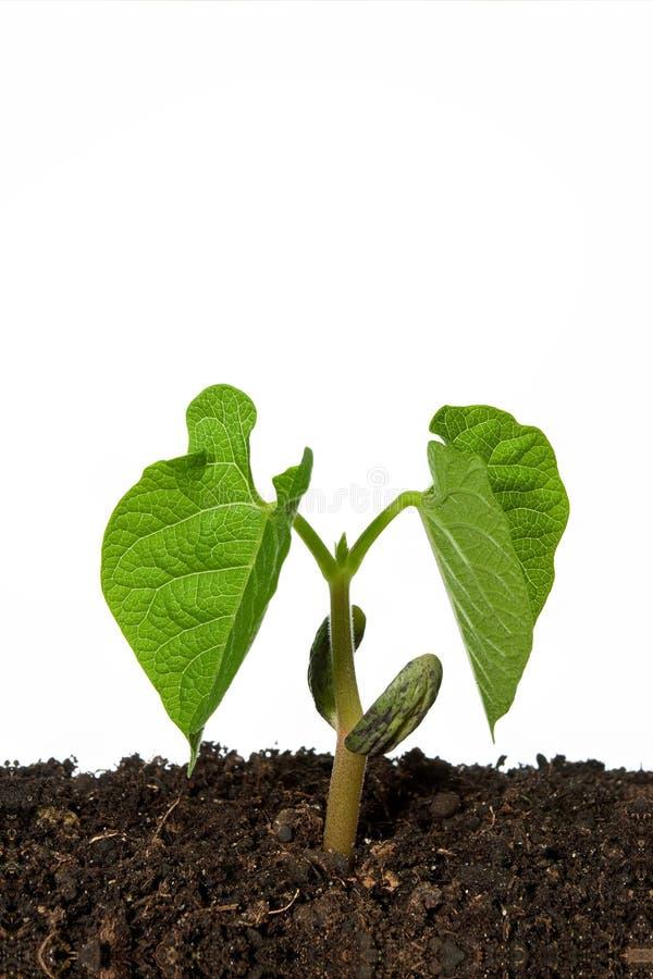 Planta de semillero de la haba imágenes de archivo libres de regalías
