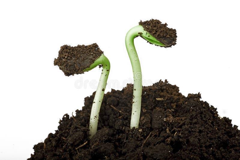 Planta de semillero del girasol imagen de archivo