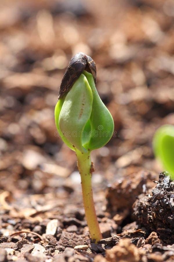 Planta de semillero del girasol imágenes de archivo libres de regalías