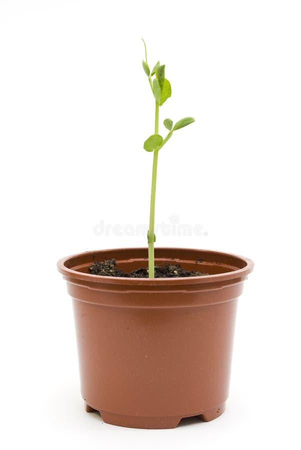 Planta de semillero del guisante en un crisol fotos de archivo