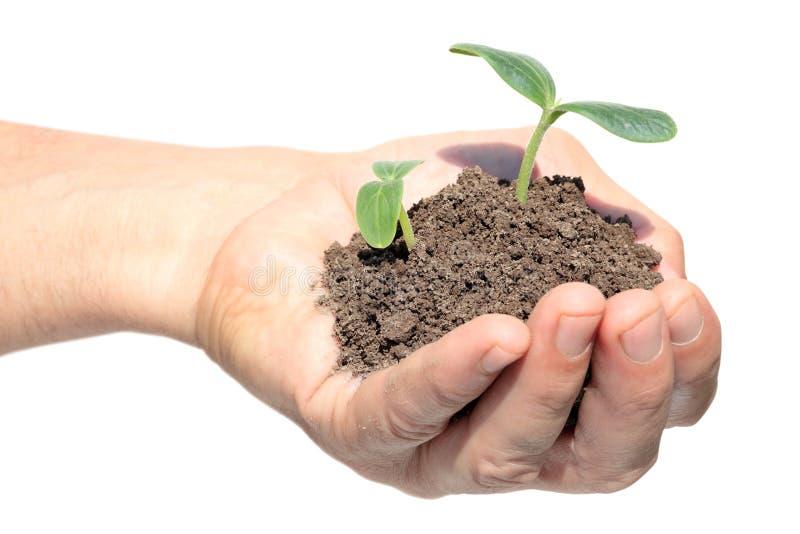 Planta de semillero del pepino de la explotación agrícola de la mano fotos de archivo libres de regalías