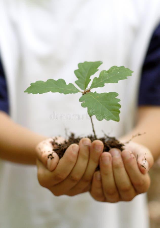 Planta de semillero del roble fotos de archivo libres de regalías