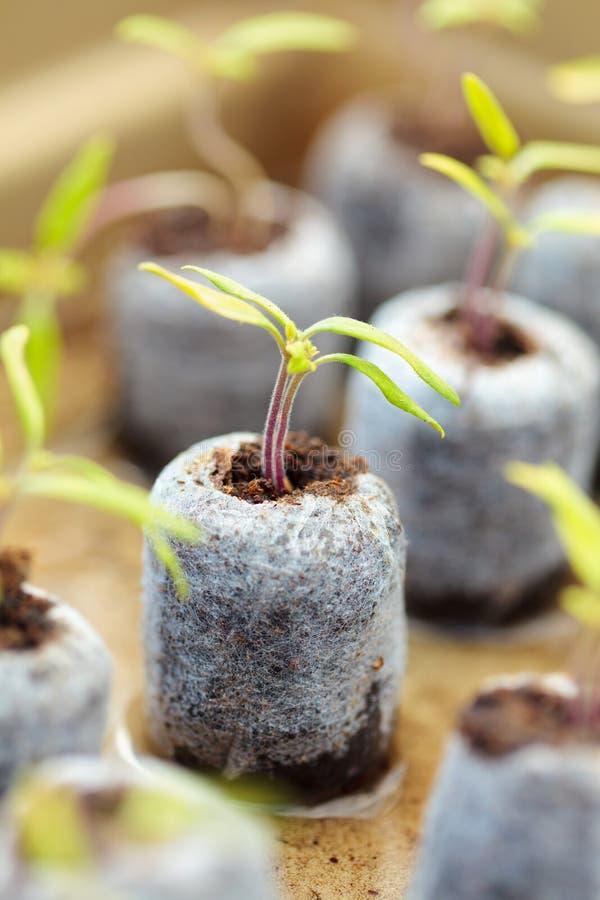 Planta de semillero del tomate en bolas de la turba fotos de archivo