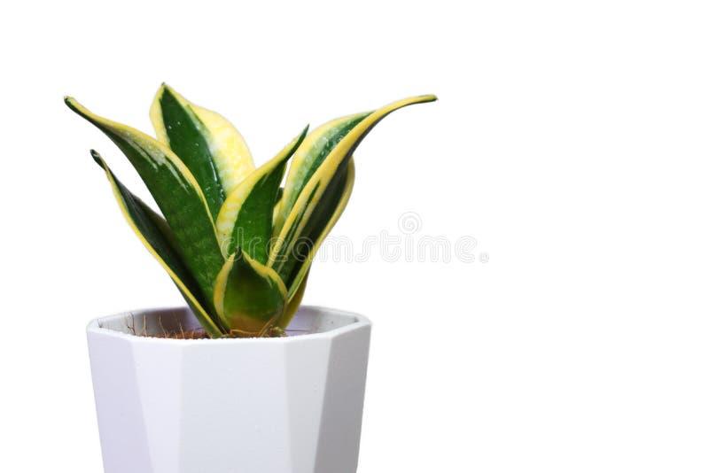 Planta de serpientes sobre fondo blanco imagenes de archivo