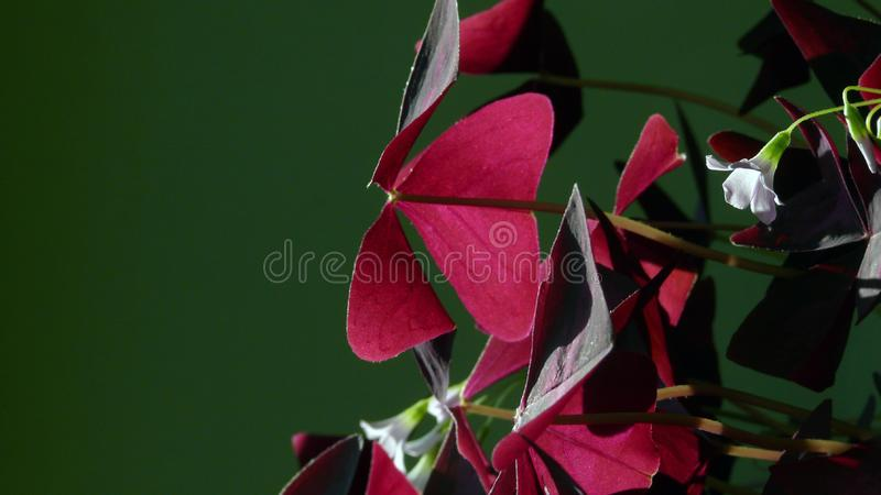 Planta de Sorrel Oxalis com folhas vermelhas e as flores azuis imagens de stock royalty free