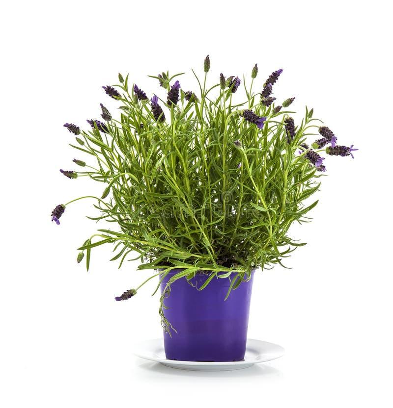Planta de Stoechas de la lavanda en maceta púrpura fotos de archivo