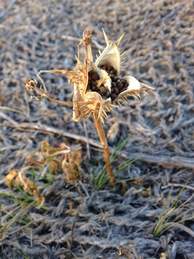 Planta de Stramonium de la datura con Seedpods en la caída fotografía de archivo