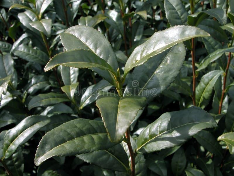 Planta de té verde imagen de archivo