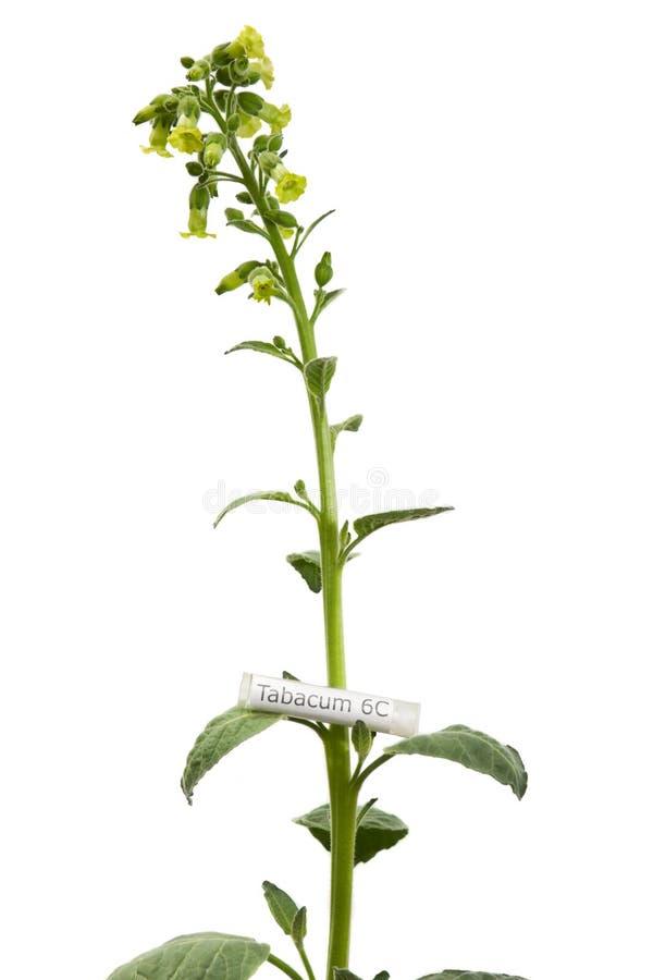 Planta de tabaco con la medicina homeopática de Tabacum fotografía de archivo