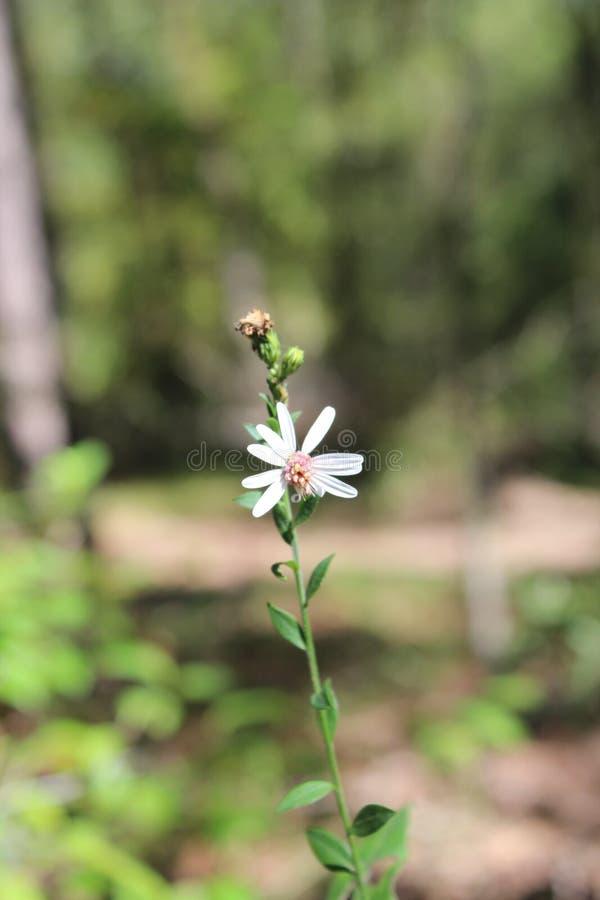 Planta de Tejas imagen de archivo
