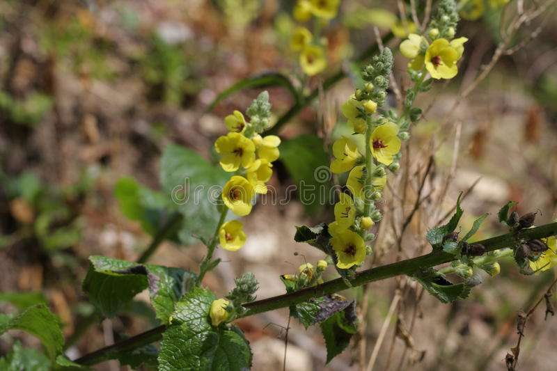 Planta de terciopelo o flor del mullein fotos de archivo libres de regalías
