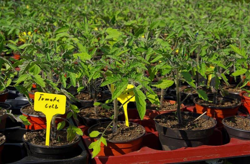 Planta de tomate 13 foto de stock