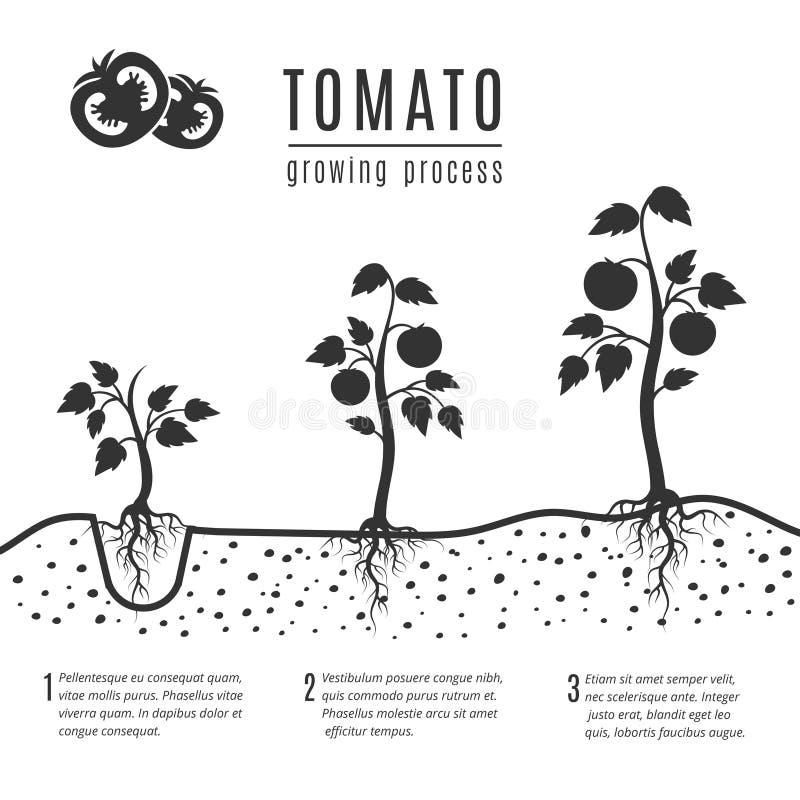 Planta de tomate com fases crescentes do vetor das raizes ilustração do vetor