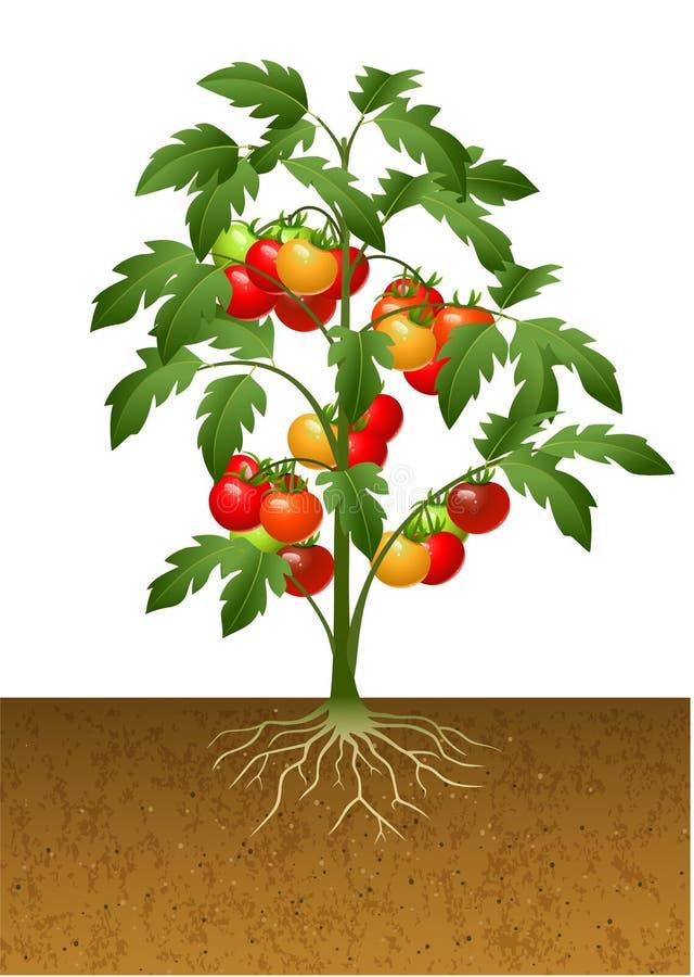 Planta de tomate con la raíz bajo tierra stock de ilustración