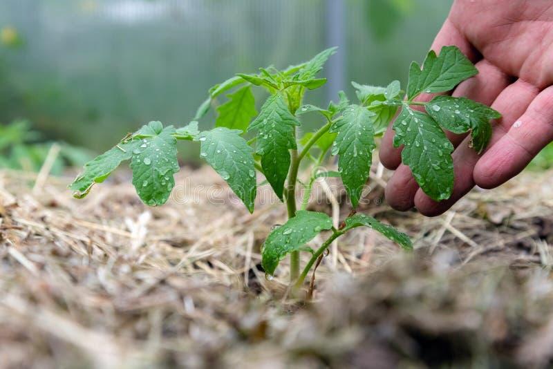 Planta de tomate de cosecha propia sin las verduras en el primero tiempo del crecimiento Brote del tomate con las gotitas de agua fotografía de archivo libre de regalías