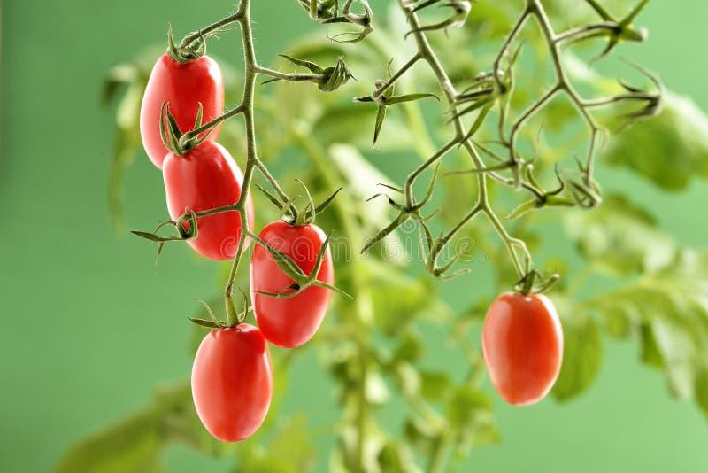 Planta de tomate de Piccadilly fotografía de archivo libre de regalías