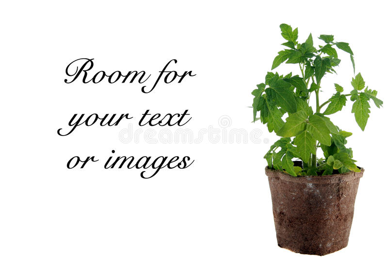 Planta de tomate isolada no branco fotos de stock