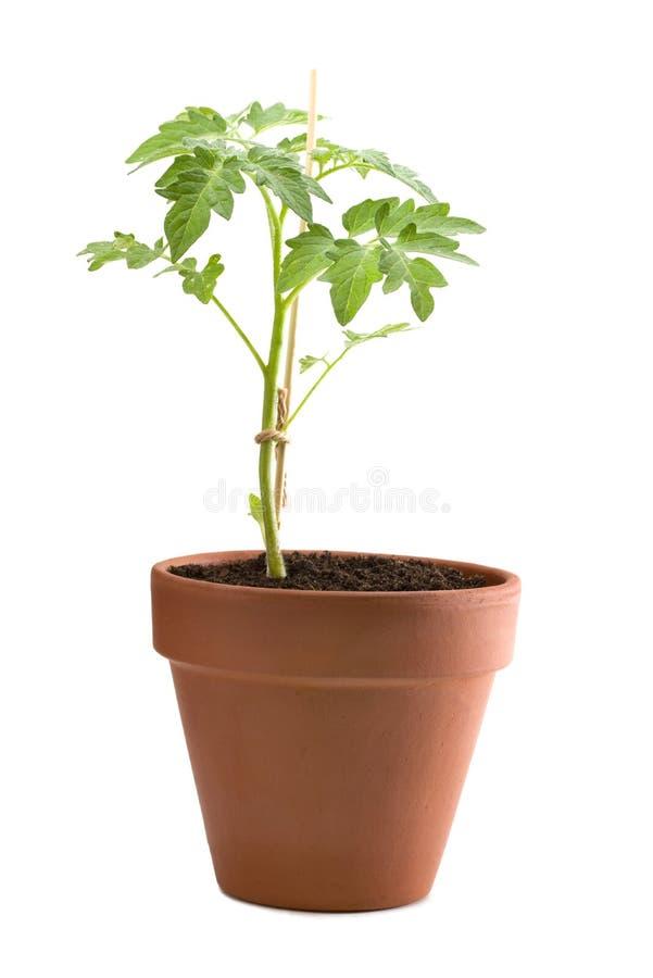 Planta de tomate joven en un pote aislado fotos de archivo
