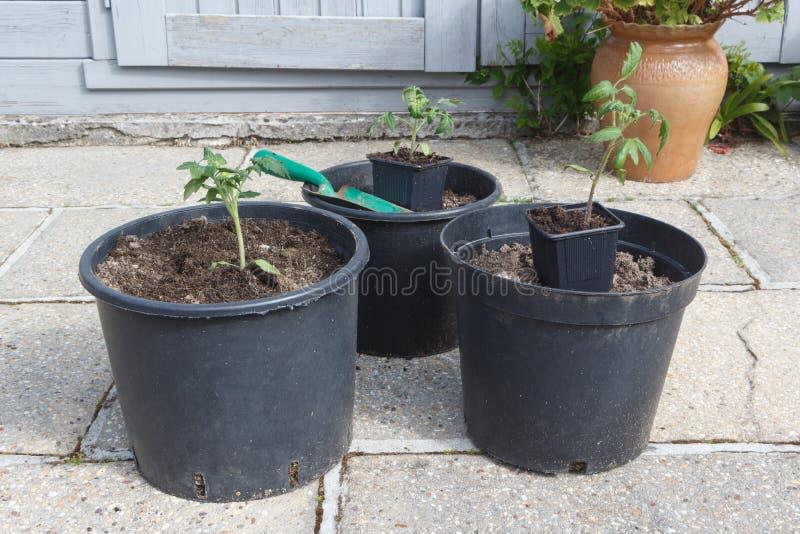 Planta de tomate, maceta con marga y paleta que cultiva un huerto imagen de archivo