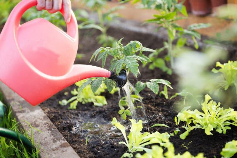 A planta de tomate molhando da plântula na estufa jardina com wat vermelho imagens de stock