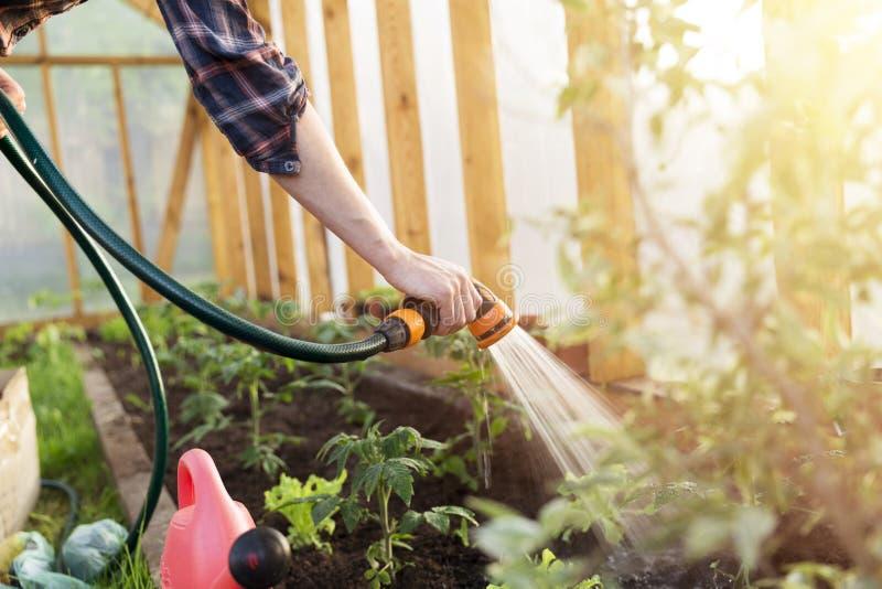 Planta de tomate molhando da plântula no jardim da estufa Conceito de jardinagem Vida saudável e lenta foto de stock