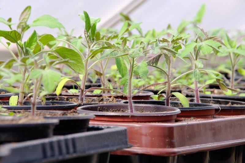 Planta de tomate na casa de vidro foto de stock royalty free