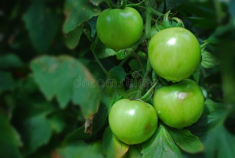 Planta de tomate no jardim imagens de stock