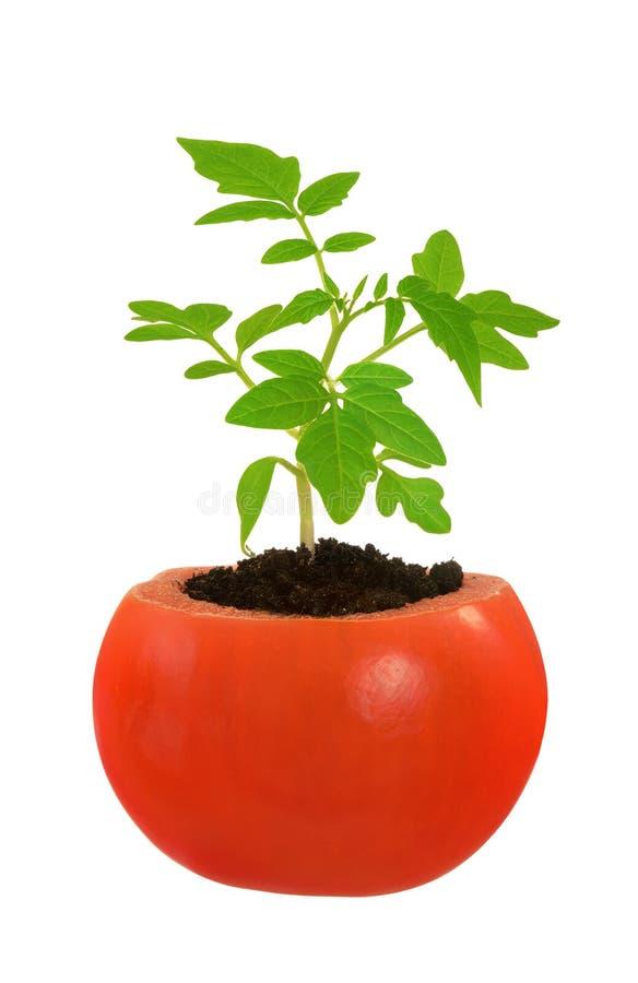 Planta de tomate nova que cresce, conceito da evolução fotos de stock