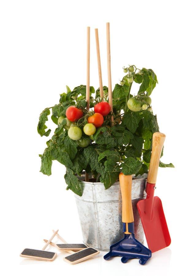 Planta de tomate para o jardim vegetal imagens de stock