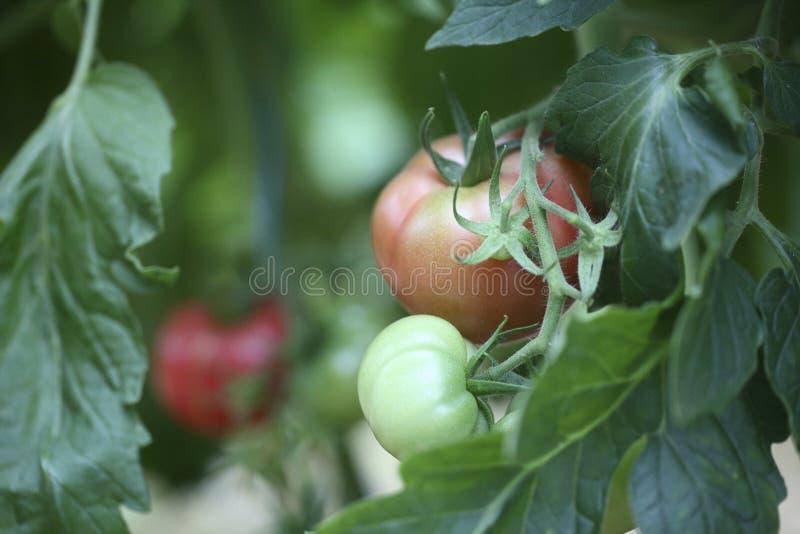Planta de tomate que crece en invernadero imagen de archivo libre de regalías