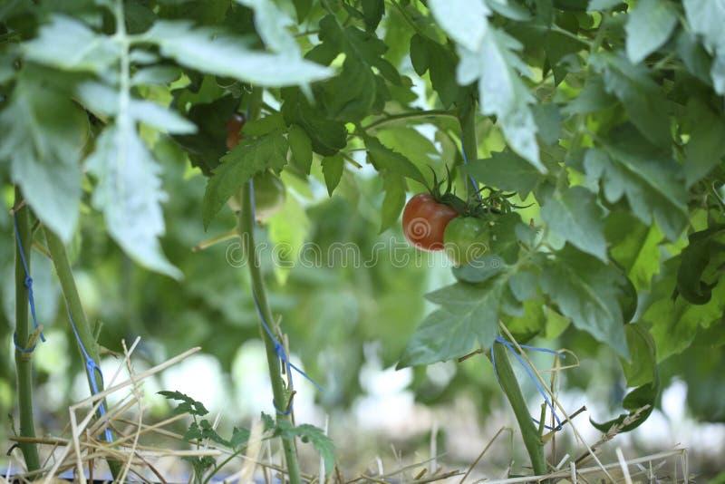 Planta de tomate que crece en invernadero foto de archivo