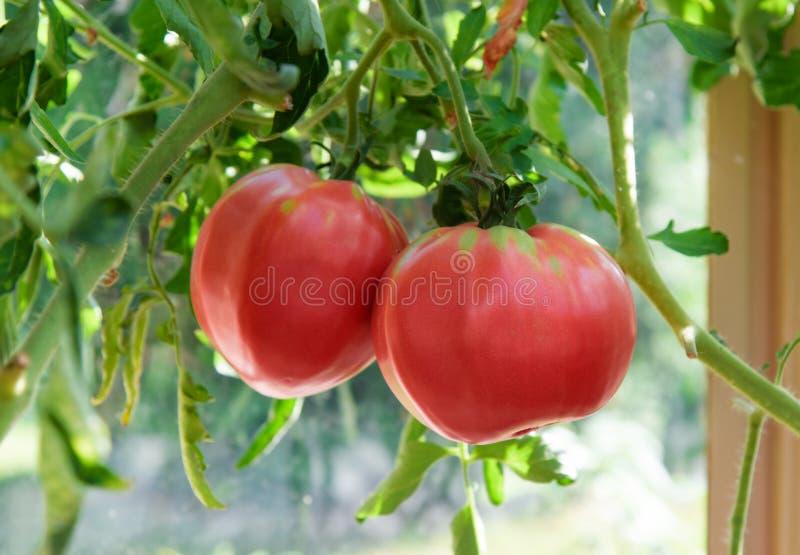 Planta de tomate y fruta rojas, crecimiento gigante de los tomates fotografía de archivo libre de regalías