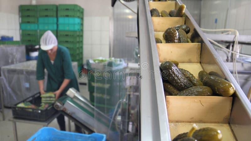 Planta de tratamiento vegetal, pepinos conservados en vinagre, trabajador imagen de archivo