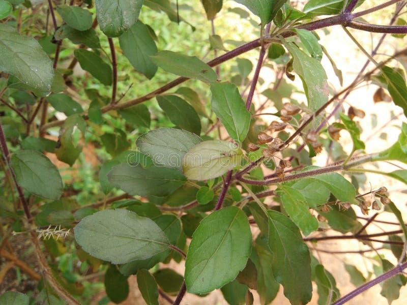 Planta de Tulsi imagens de stock royalty free