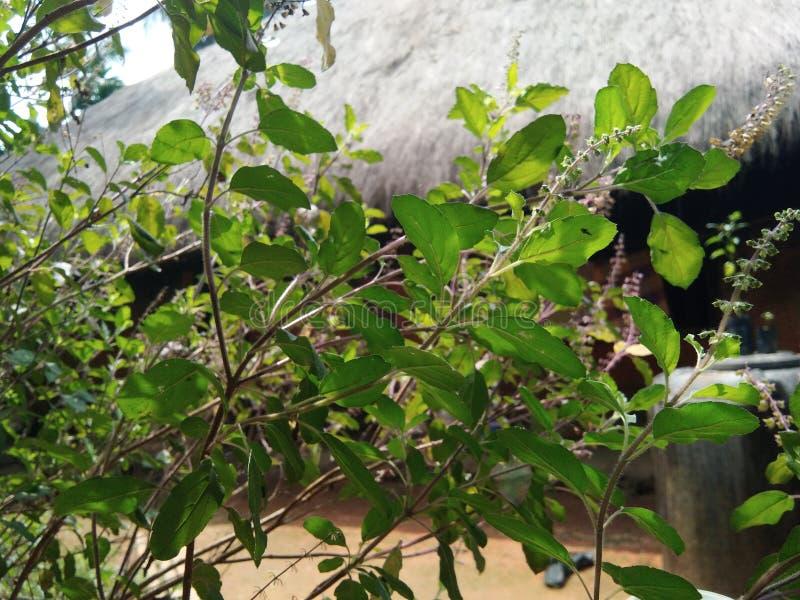 Planta de Tulsi imagem de stock royalty free