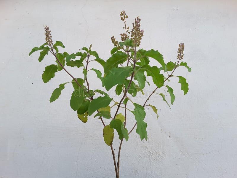 Planta de Tulsi imagen de archivo libre de regalías