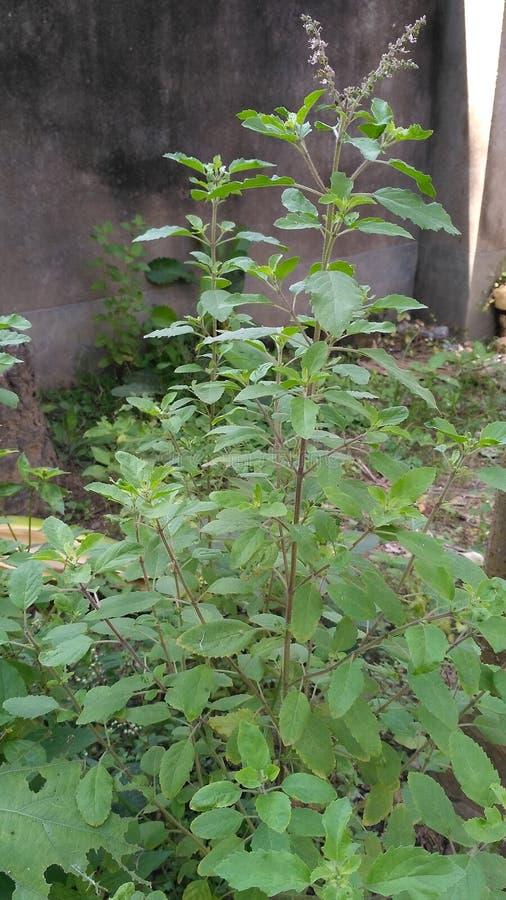 Planta de Tulsi fotografia de stock royalty free