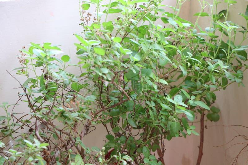 Planta de Tulsi foto de archivo